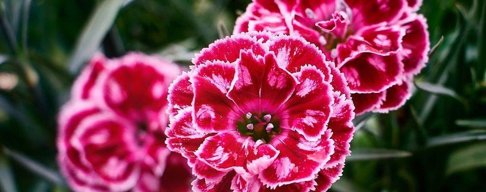 คาร์เนชั่นแดง ดอกไม้ประจำชาติของสเปน